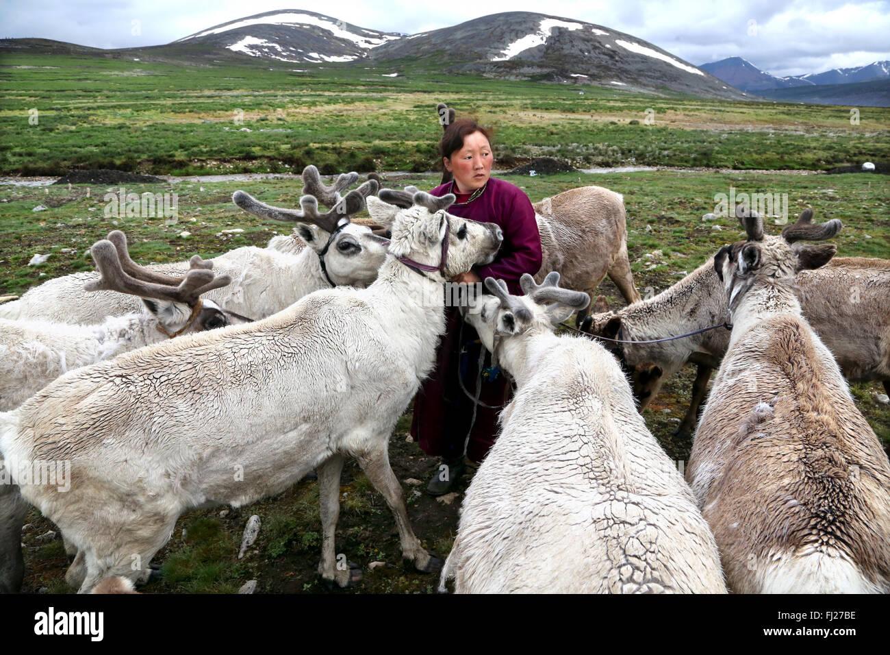 Woman with reindeer, , Tsaatan Dukha people , nomadic reindeer herders , Mongolia - Stock Image