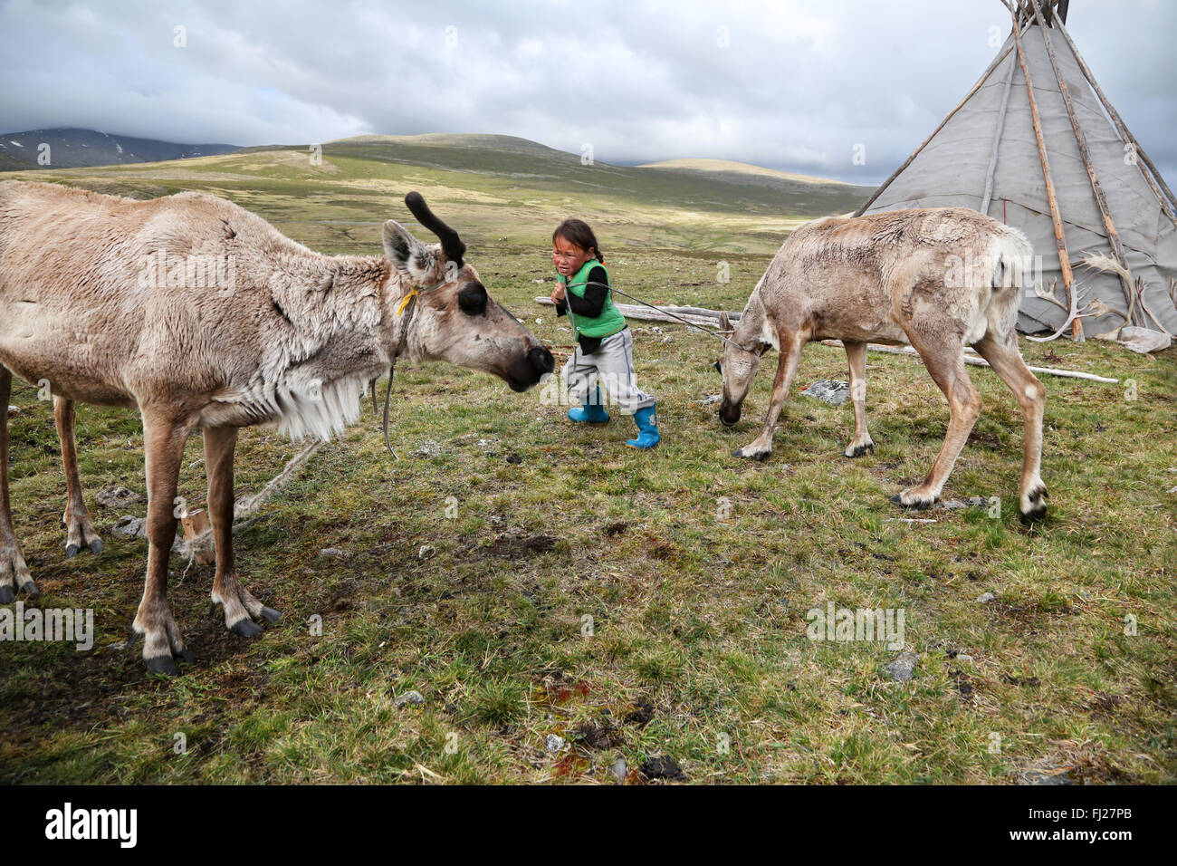 Tsaatan nomad  kid playing with reindeer - Stock Image