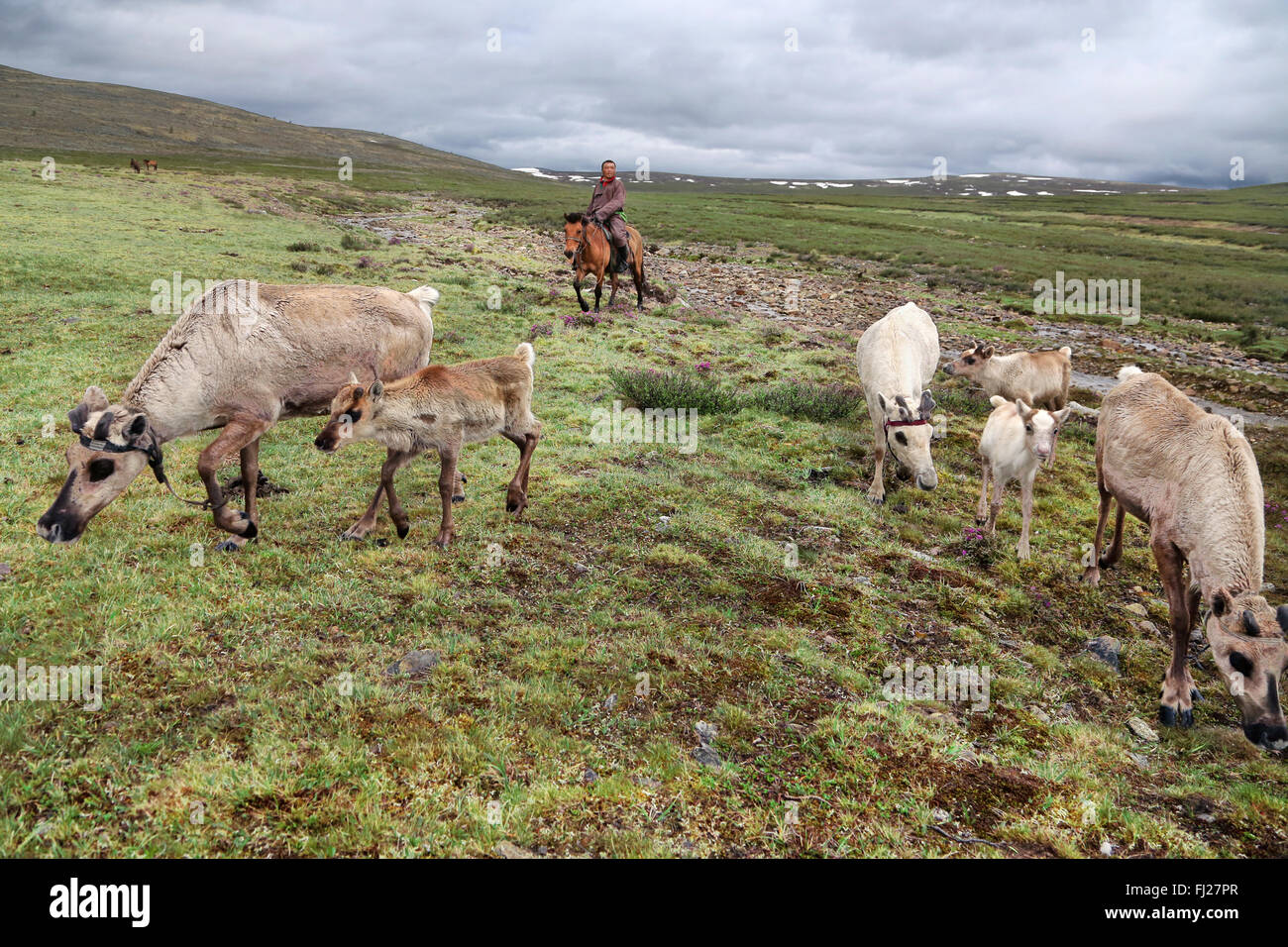 Man coming back to the camp with reinderer, Tsaatan Dukha people , nomadic reindeer herders , Mongolia - Stock Image
