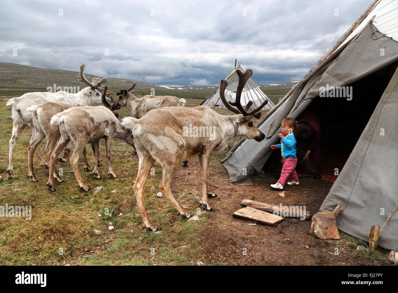 Kid playing with reindeer out of tent, , Tsaatan Dukha people , nomadic reindeer herders , Mongolia - Stock Image