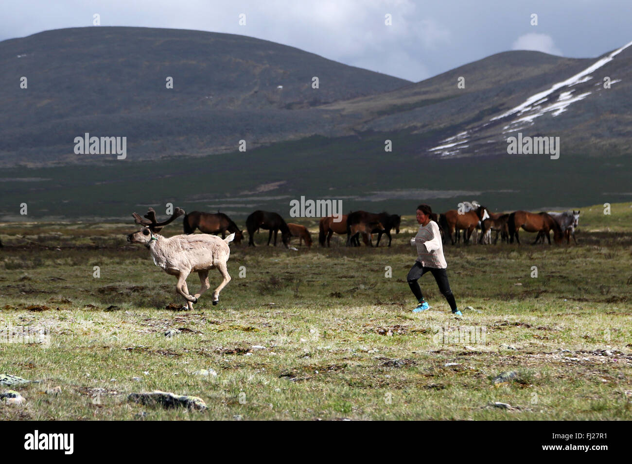Woman running after reindeer, , Tsaatan Dukha people , nomadic reindeer herders , Mongolia - Stock Image