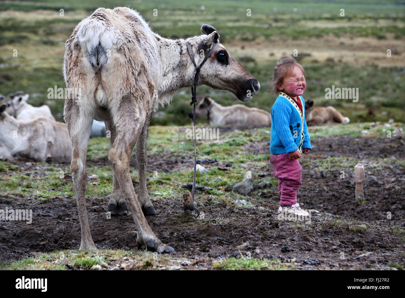 Child playing with reindeer,Tsaatan Dukha people , nomadic reindeer herders , Mongolia - Stock Image