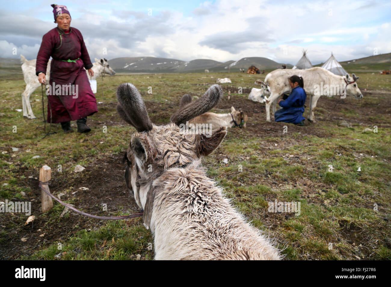 Woman milking reindeer, , Tsaatan Dukha people , nomadic reindeer herders , Mongolia - Stock Image