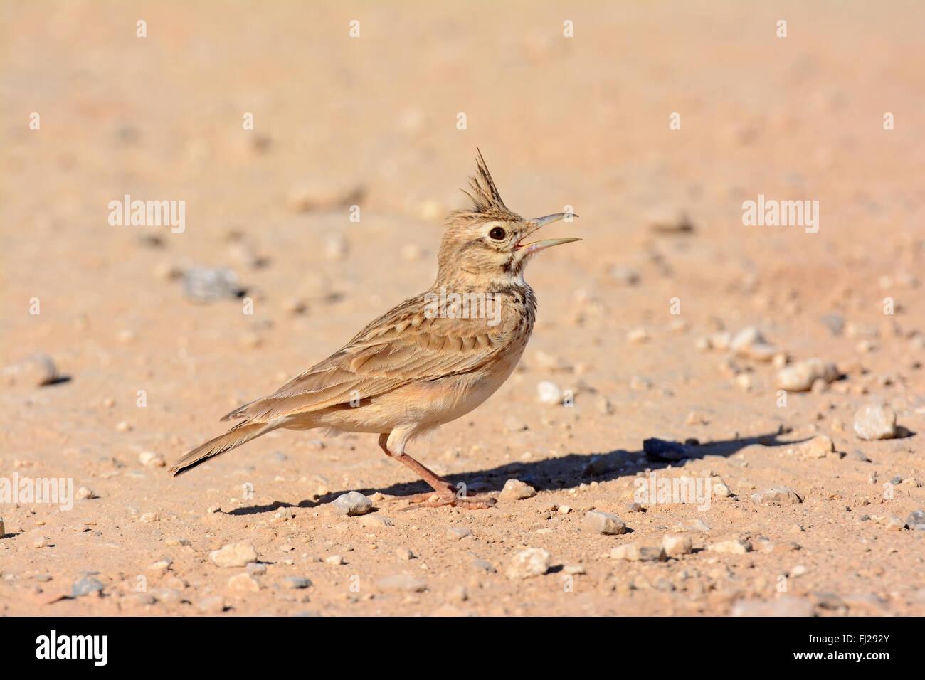 Crested lark , Galerida cristata sings Stock Photo