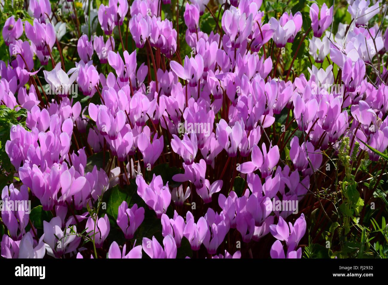 Cyclamen flower carpet - Stock Image