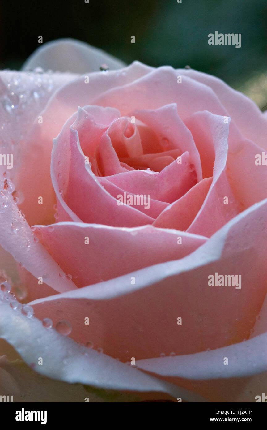 Hybrid Tea Rose Johann Strauss, light pink Stock Photo