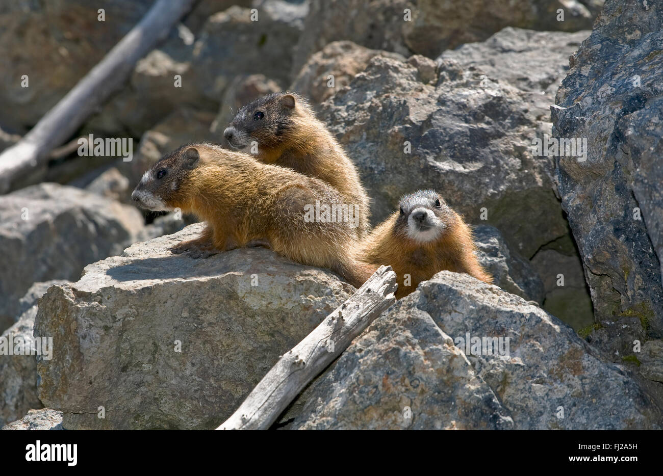 YELLOW BELLIED MARMOT (Marmota flaviventris) YOUNG amongst the rocks  - YELLOWSTONE NATIONAL PARK, WYOMING - Stock Image