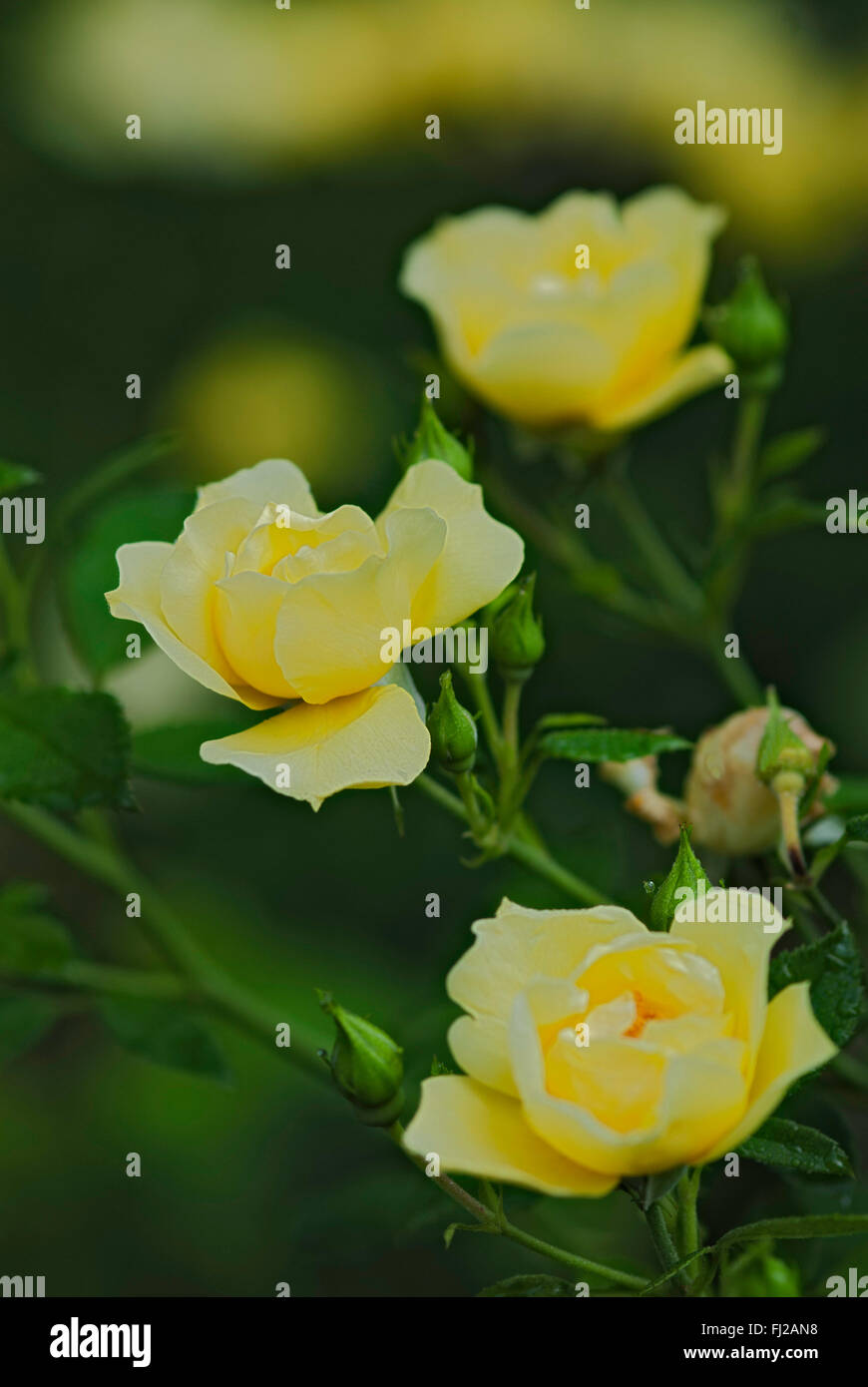 Flower Carpet Rose Stock Photos Flower Carpet Rose Stock Images
