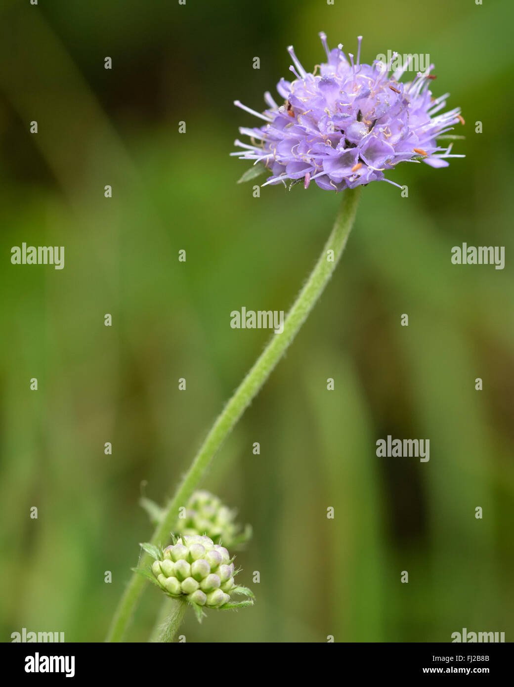 Devil's-bit scabious (Succisa pratensis). Mauve flower on plant in the family Dipsaceae, flowering in a British - Stock Image