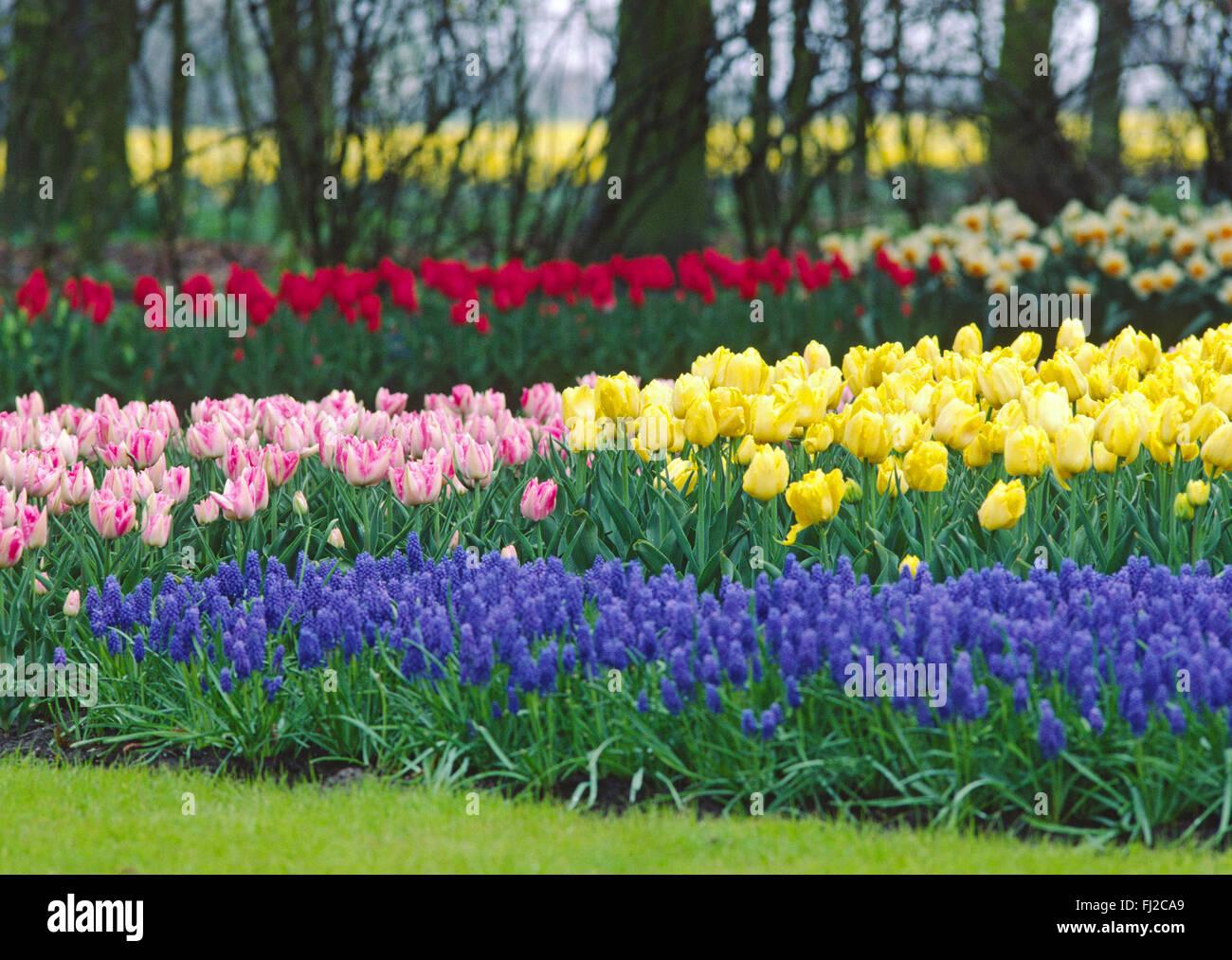 NIEDERLANDE, HOLLAND, TULPEN, BLUMEN, FELD, FELDER, TULPENBLUETE, KEUKENHOF, - Stock Image