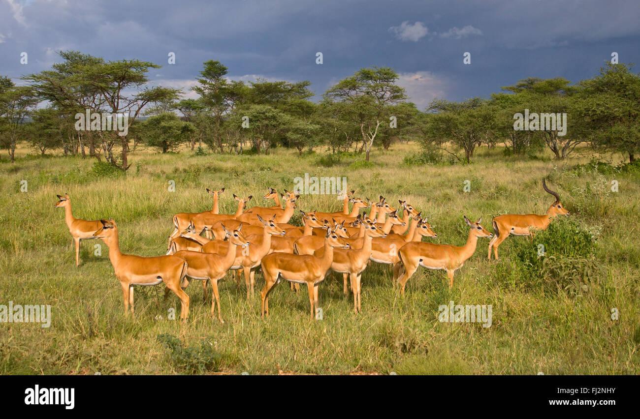 A herd of IMPALA (Aepyceros melampus) thrive on the SERENGETI PLAINS - TANZANIA - Stock Image