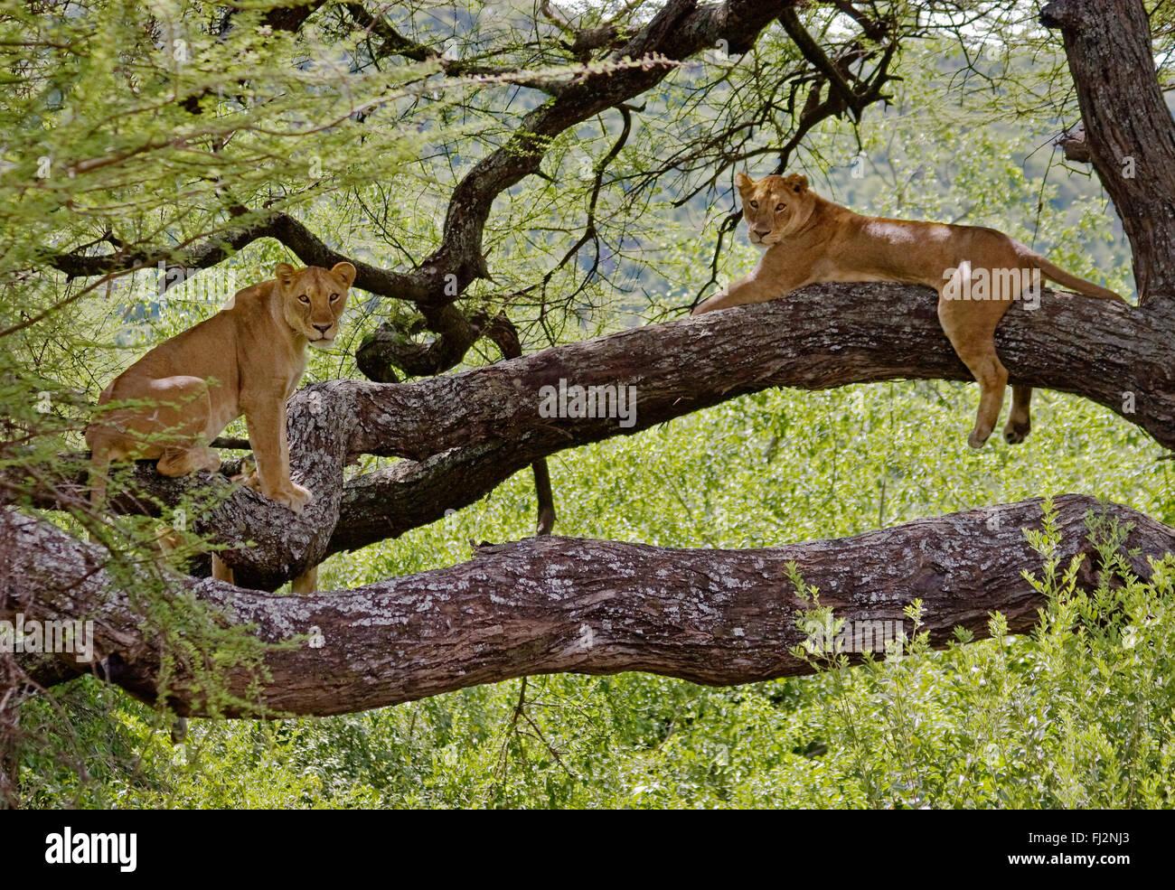 Female LIONS (Panthera leo) in a tree - LAKE MANYARA NATIONAL PARK, TANZANIA - Stock Image