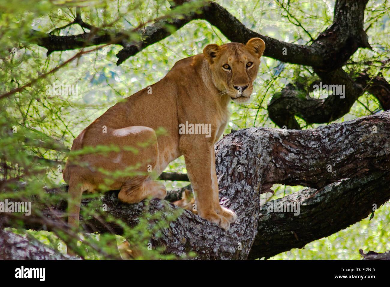 A female LION (Panthera leo) in a tree - LAKE MANYARA NATIONAL PARK, TANZANIA - Stock Image