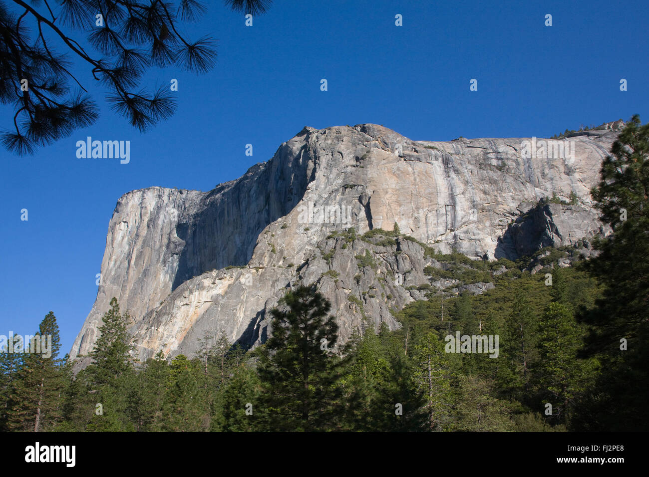 EVERGREEN TREES below EL CAPITAN in the YOSEMITE VALLEY - YOSEMITE NATIONAL PARK, CALIFORNIA - Stock Image
