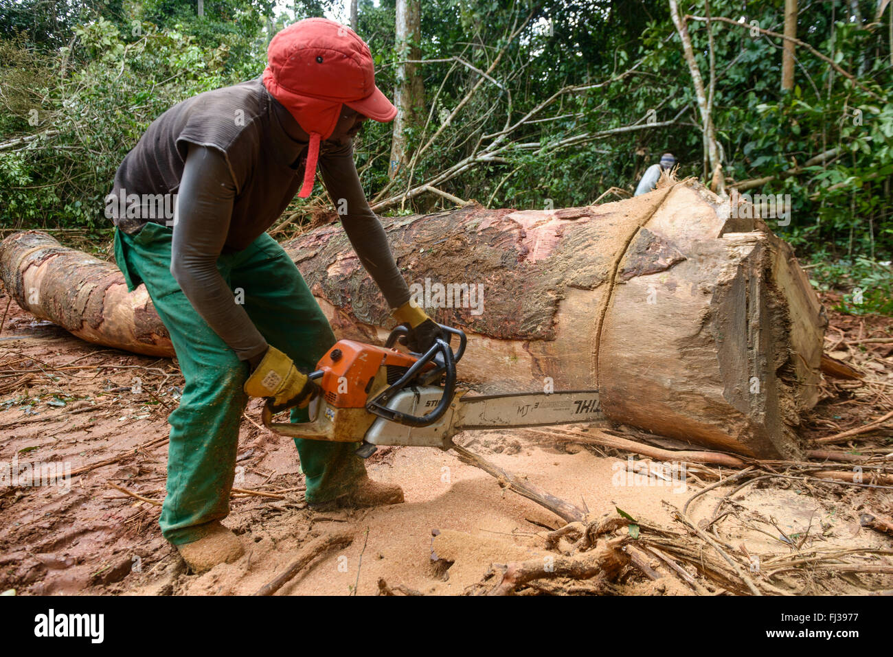 Sustainable logging, Cameroon, Africa - Stock Image