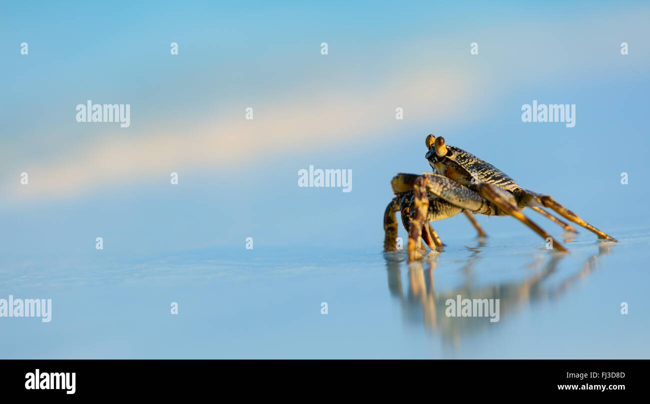 Macro photo of crab on the beach - Stock Image