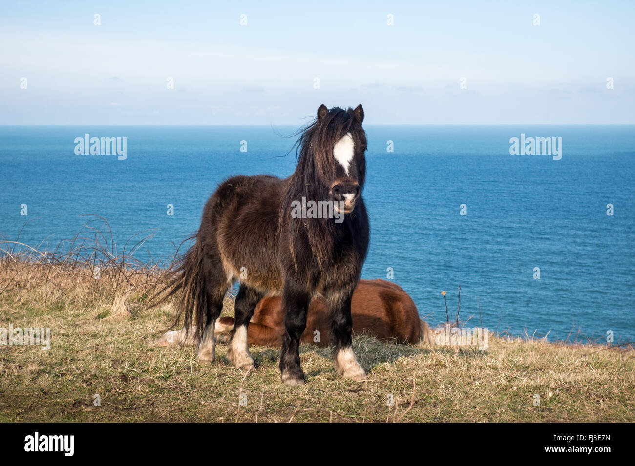 Ponies on the Pembrokeshire Coast Path between Fishguard and Dinas Head - Stock Image