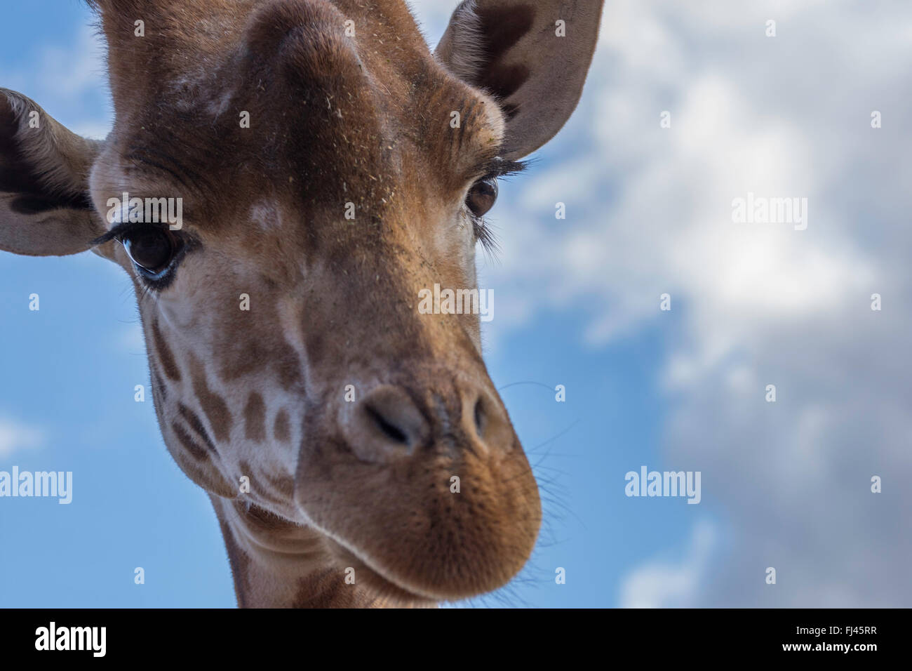 A lovely giraffe up close - Stock Image