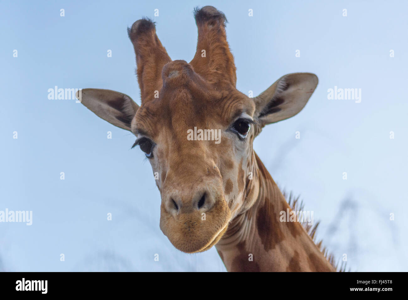 A giraffe looking down - Stock Image