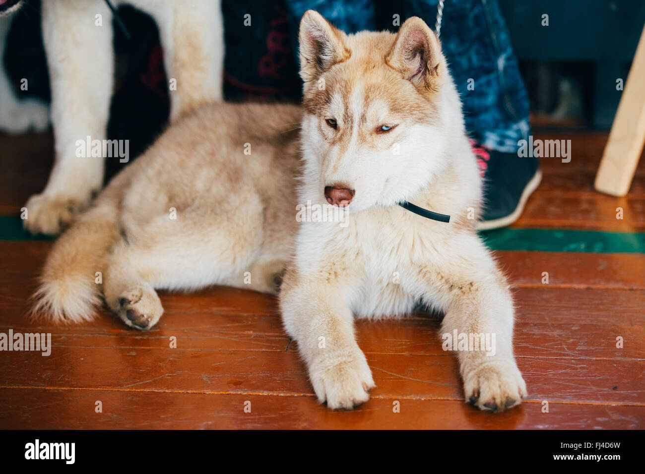 Young Red And White Husky Puppy Dog Sitting On Floor Stock Photo