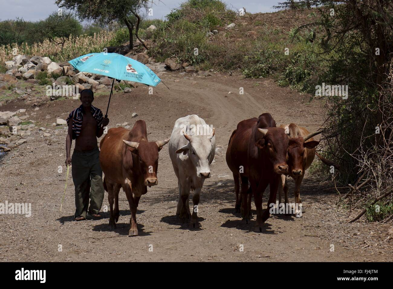 Farmer takes shade under umbrella whilst moving his cattle - Stock Image