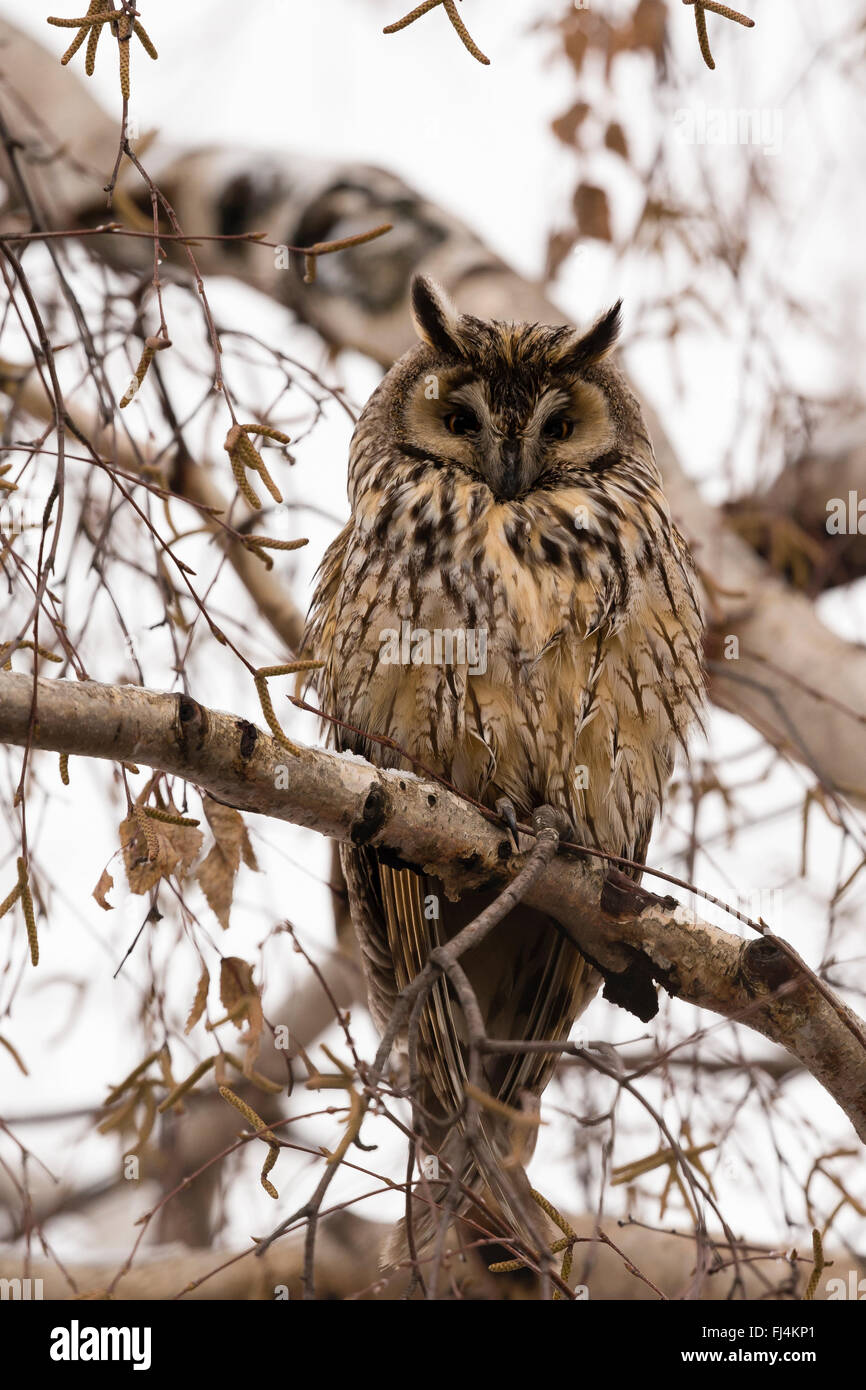 Long-eared Owl (Asio otus) roosting in a tree; Sliven Bulgaria - Stock Image