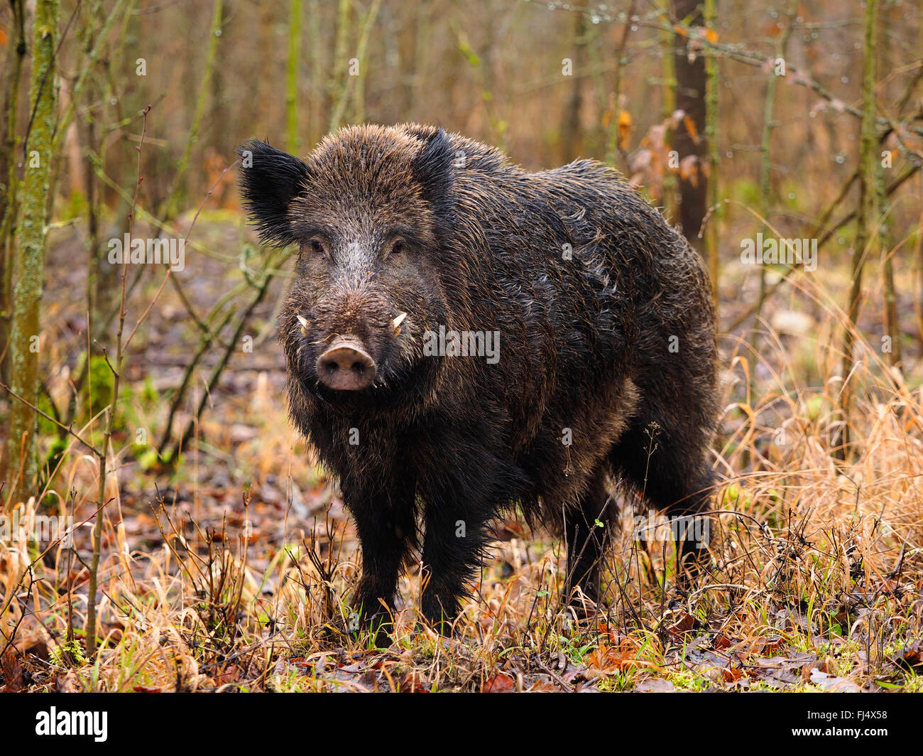 wild boar, pig, wild boar (Sus scrofa), young tusker in snowless winterforest, Germany, Baden-Wuerttemberg Stock Photo