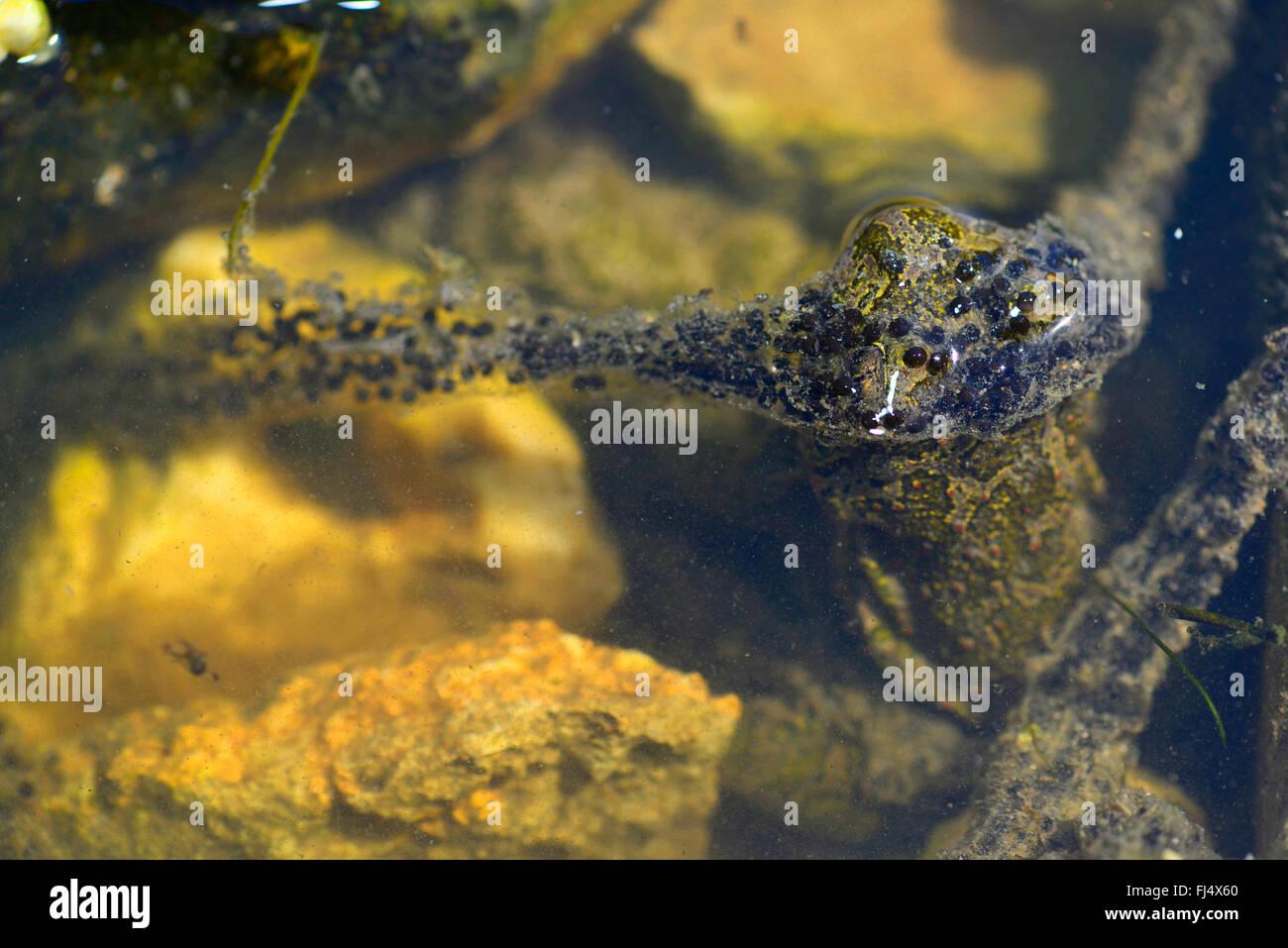 Eastern European spadefoot, Syrian spadefoot (Pelobates syriacus), spawn of the Syrian spadefoot, Romania, Dobrudscha, Biosphaerenreservat Donaudelta Stock Photo