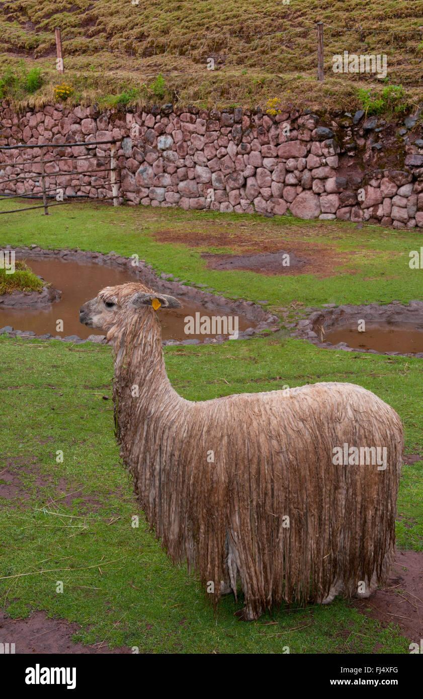 llama (Lama glama), wet llama in rain, Peru, Cuzco - Stock Image