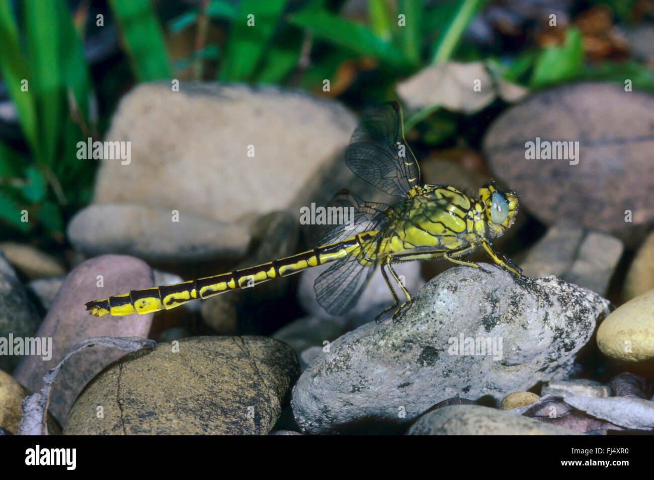 Western European gomphus (Gomphus pulchellus), sits on a stone, Germany - Stock Image