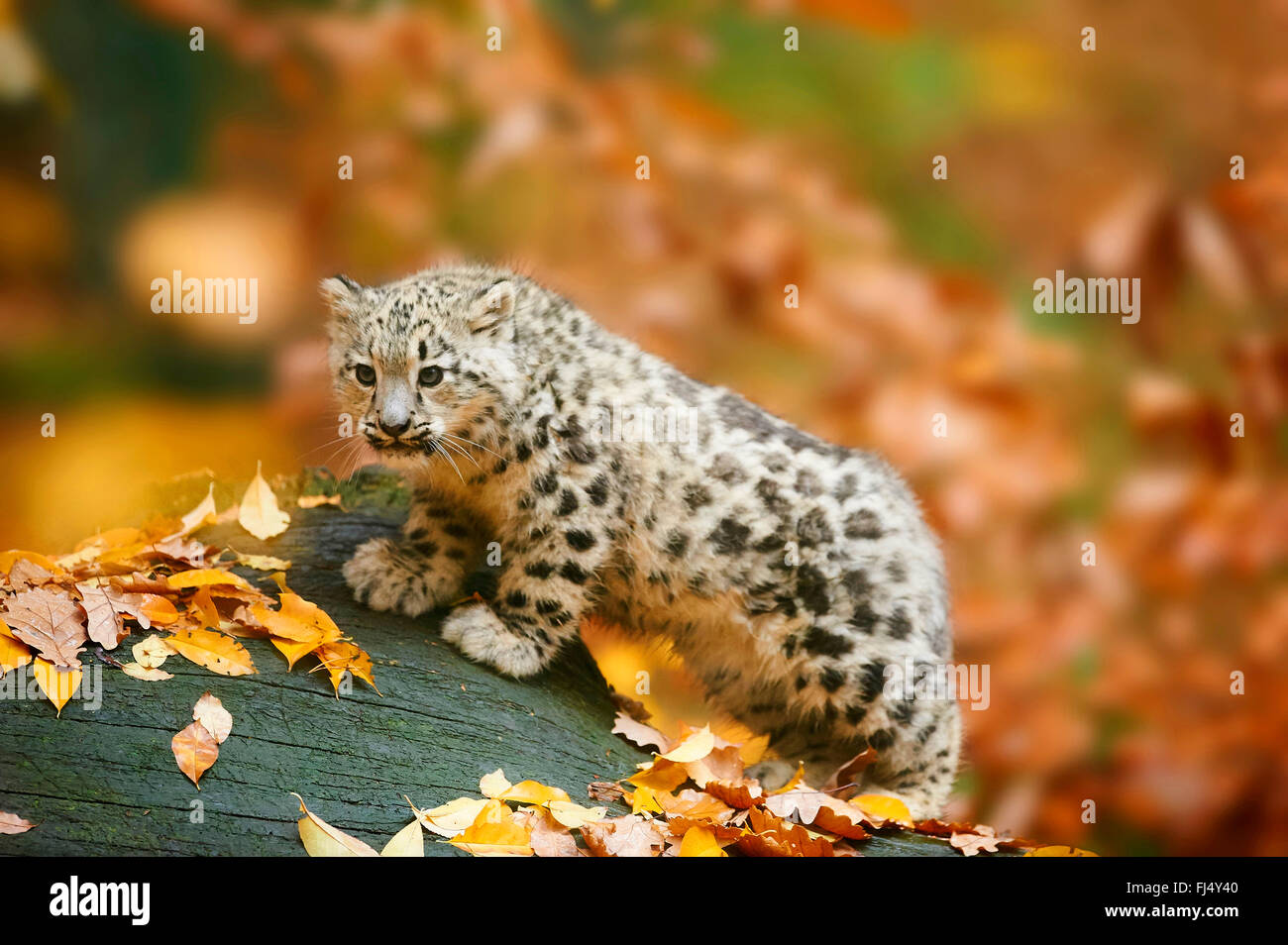 snow leopard (Uncia uncia, Panthera uncia), cub standing in autumn on a dead tree trunk Stock Photo