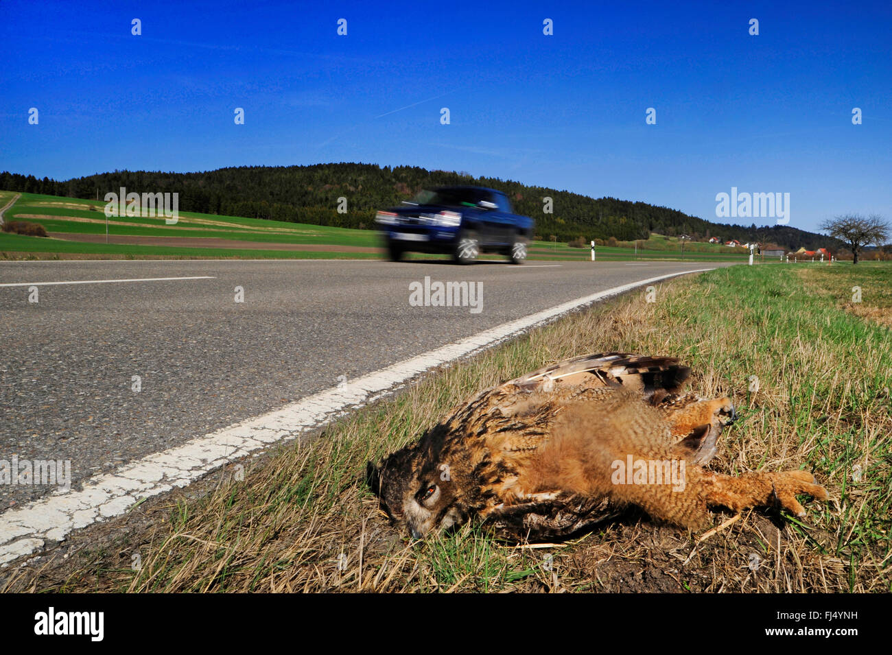 northern eagle owl (Bubo bubo), dead eagle owl on the roadside after the collision with a car, Germany, Oberndorf - Stock Image
