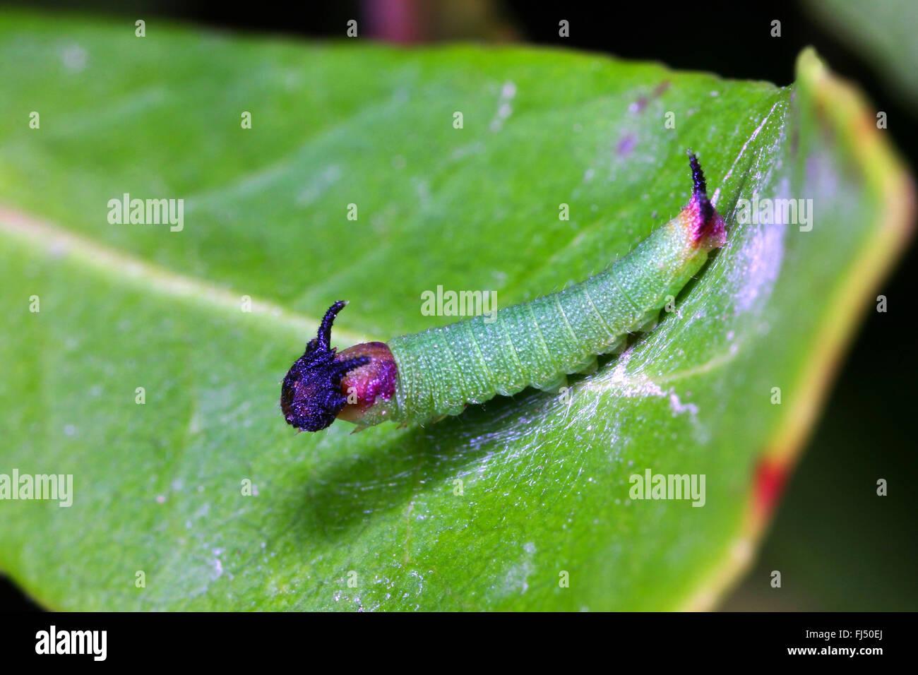 Two-tailed Pasha, Foxy Emperor (Charaxes jasius), caterpillar - Stock Image