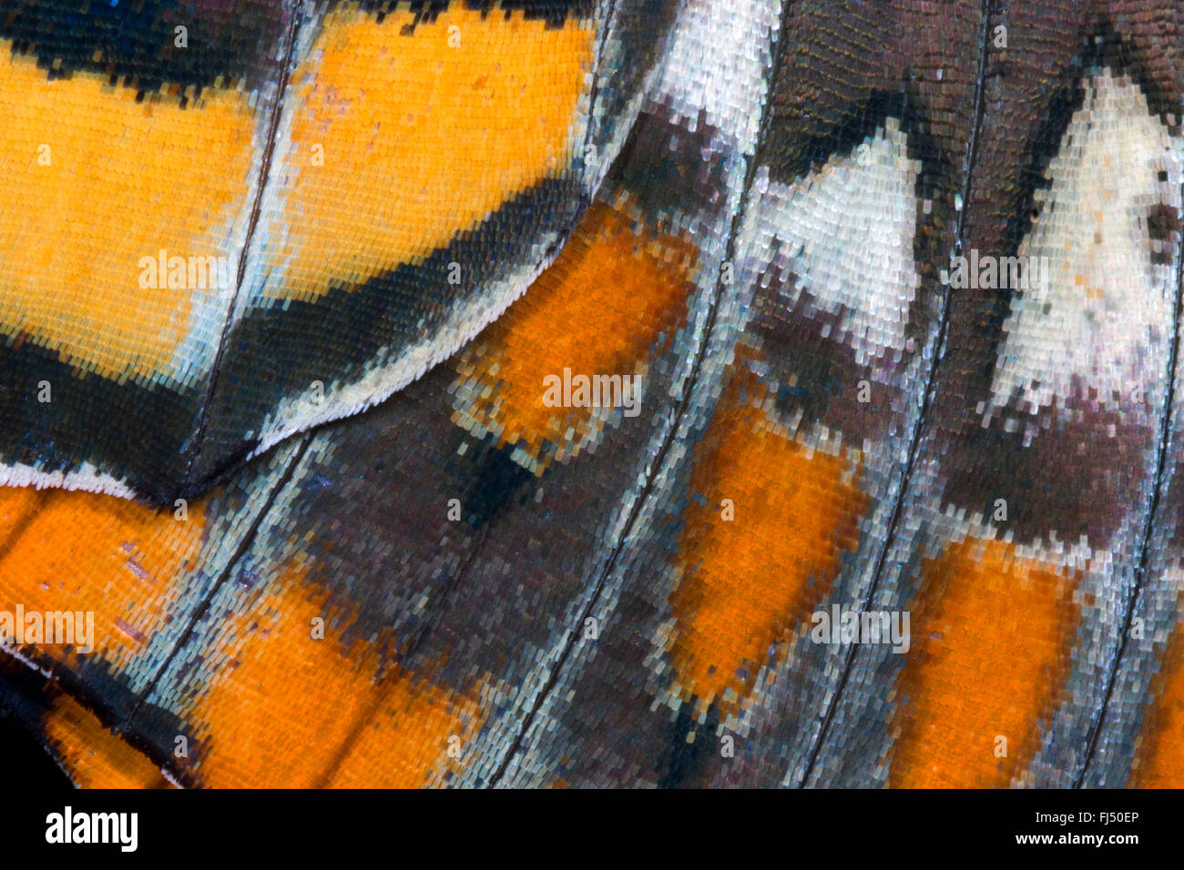 Two-tailed Pasha, Foxy Emperor (Charaxes jasius), wing pattern, scales of the wing - Stock Image