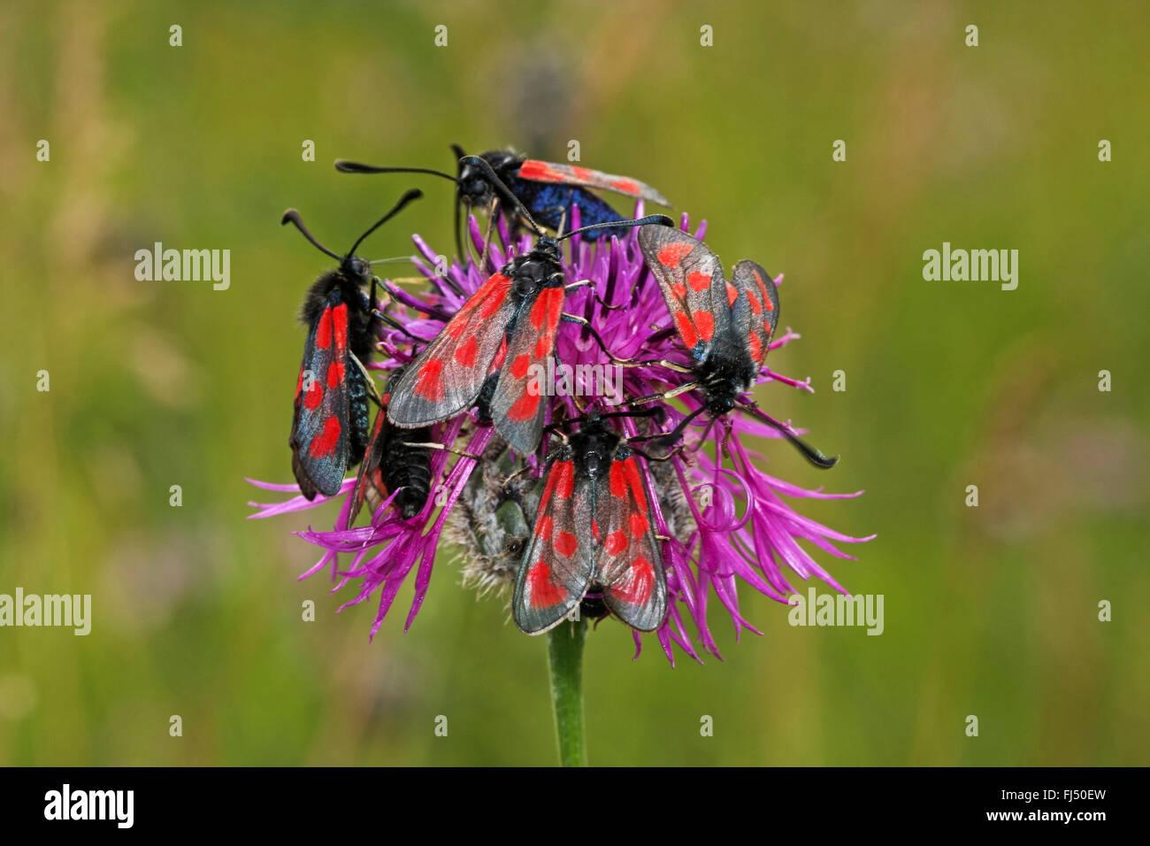 Slender burnet, Slender Scotch Burnet (Zygaena loti), aggregation on knapweed, Germany - Stock Image