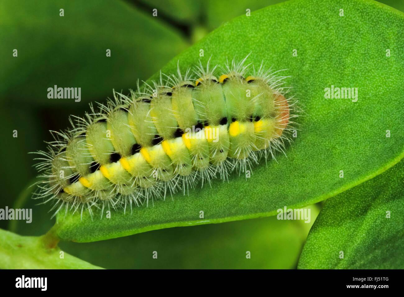 Auspicious Burnet Moth (Zygaena fausta, Zygaena faustina), caterpillar on a leaf, Germany - Stock Image