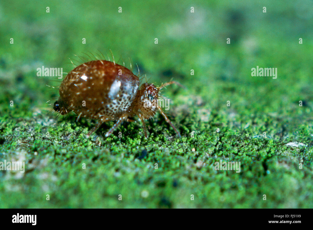 Springtail (Allacma fusca), insect of the year 2016, Germany - Stock Image
