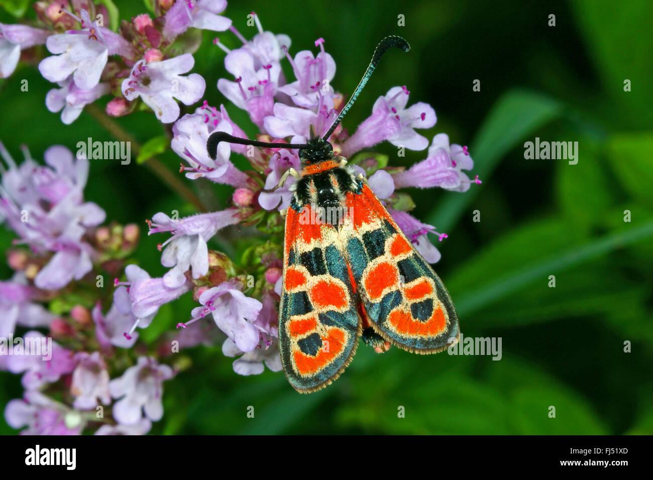 Auspicious Burnet Moth (Zygaena fausta, Zygaena faustina), on Origanum, Germany - Stock Image