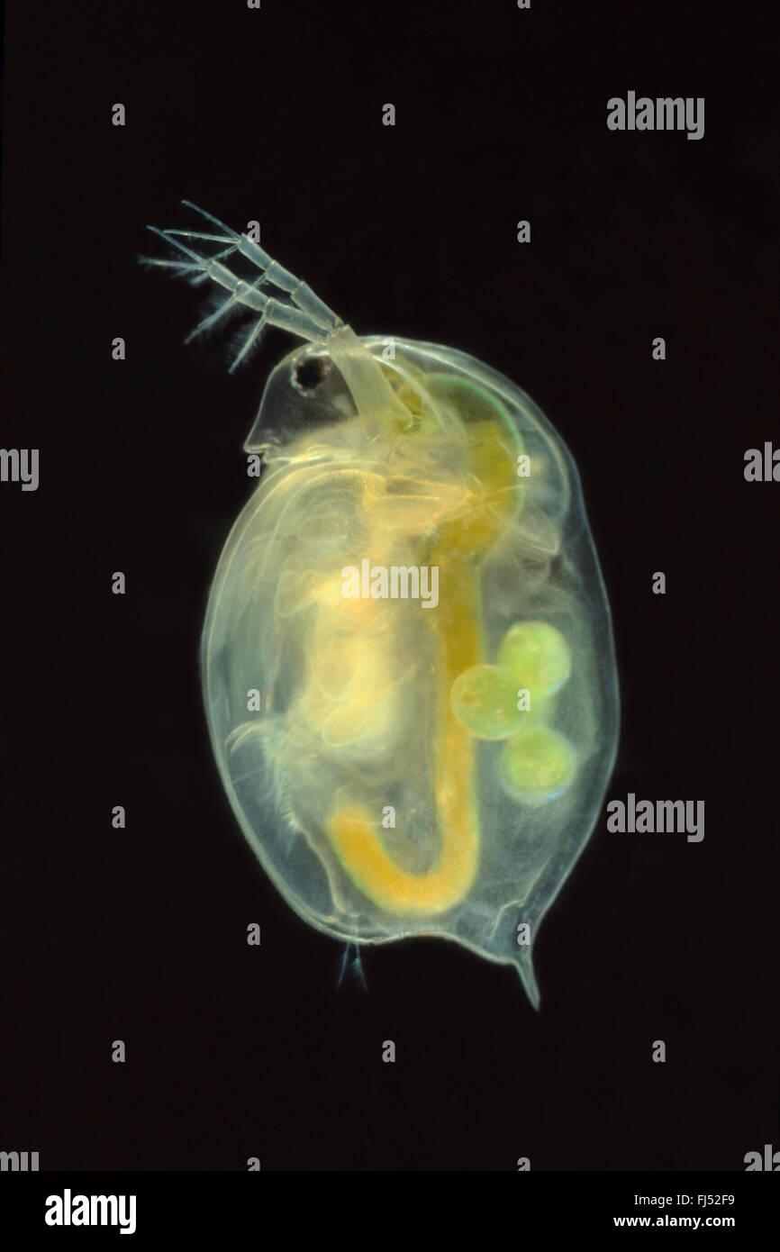 Big water flea (Daphnia magna), swimming, Germany - Stock Image