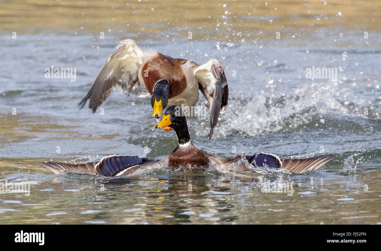 mallard (Anas platyrhynchos), two drakes in territorial fight, Germany, Bavaria - Stock Image