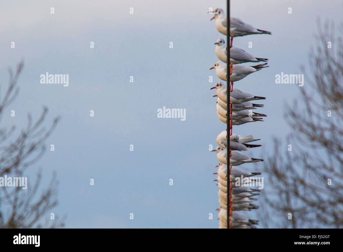 black-headed gull (Larus ridibundus, Chroicocephalus ridibundus), troop on a wire rope, Germany, Bavaria, Niederbayern, - Stock Image