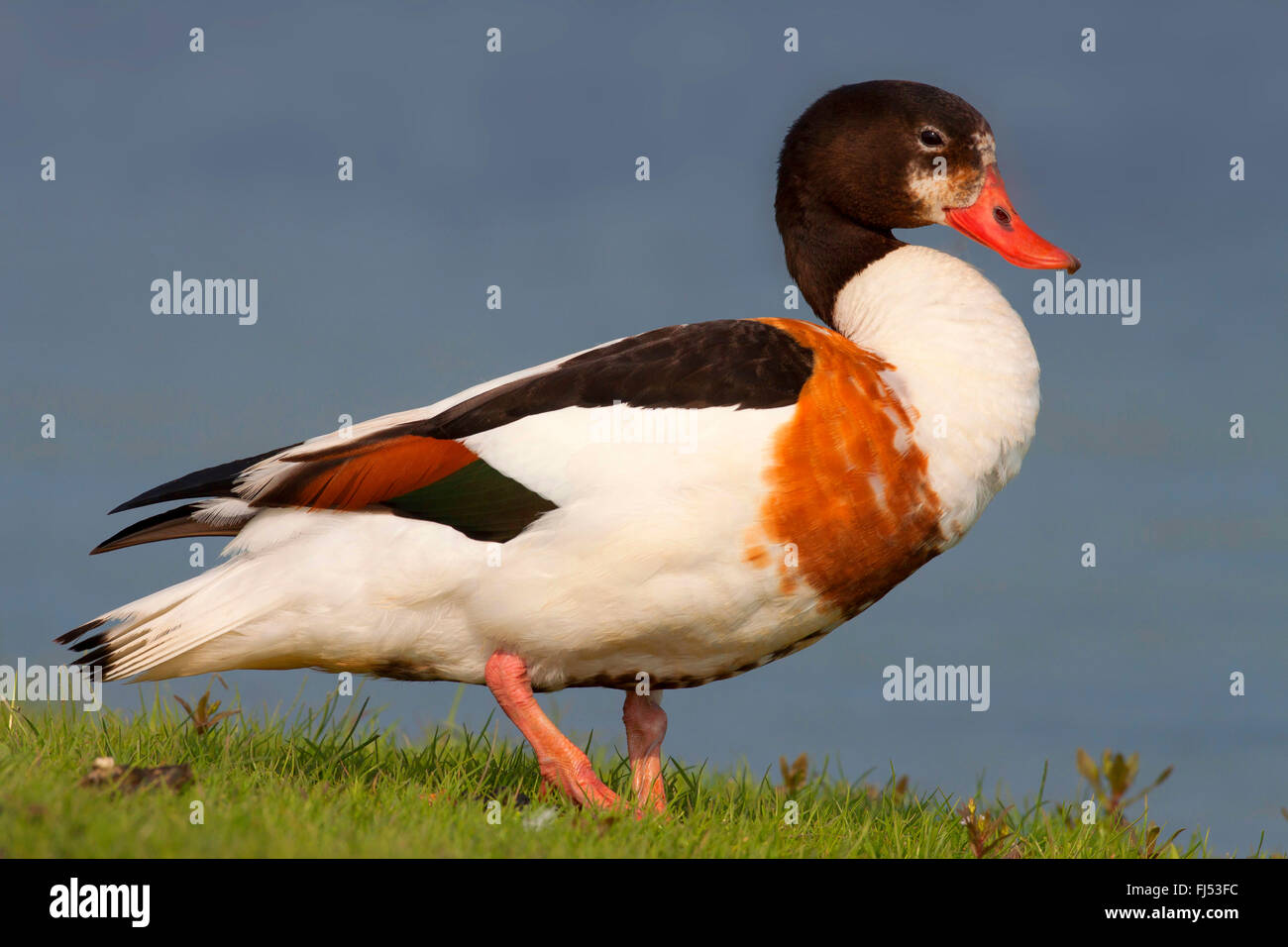 common shelduck (Tadorna tadorna), female standing at the edge of the shore, side view, Germany, Schleswig-Holstein - Stock Image