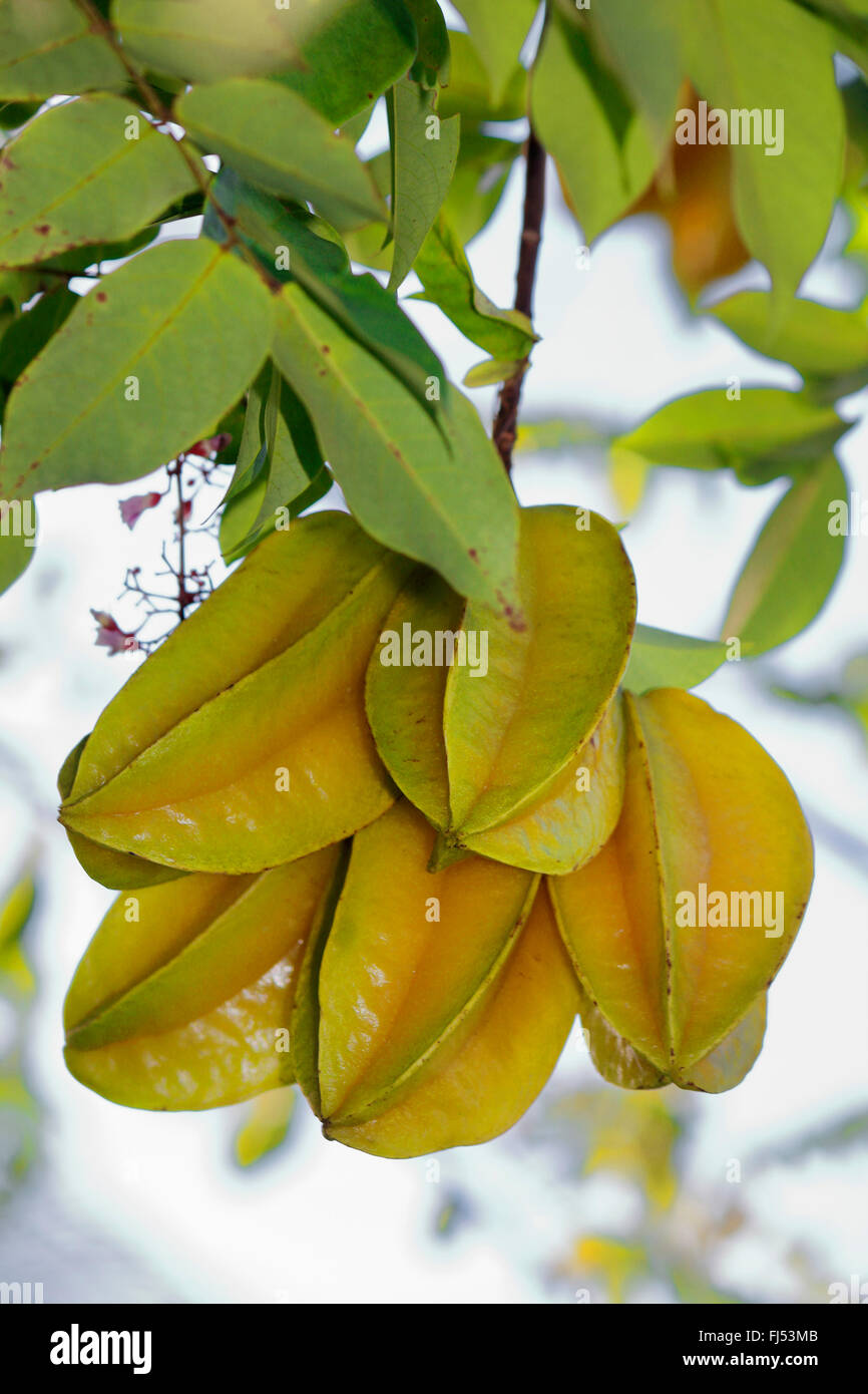 starfruit, carambola fruit, bilimbi, belimbing, Chinese star fruit, five-angled fruit, star apple (Averrhoa carambola), - Stock Image