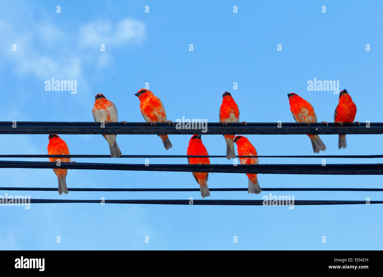 Madagascan red fody (Foudia madagascariensis), males on a phone line, Seychelles, Praslin - Stock Image