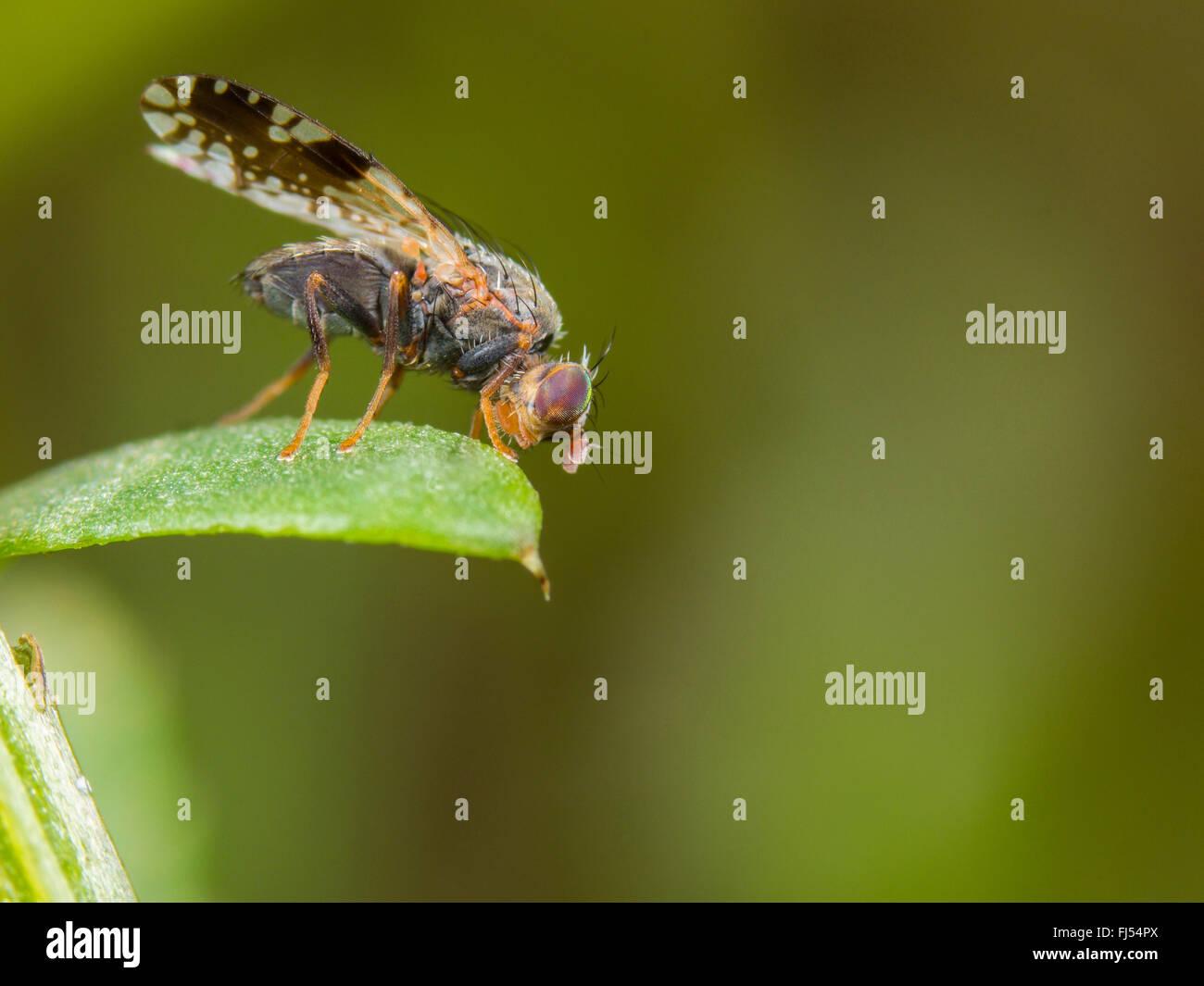 Tephritid fly (Tephritis neesii), male on ox-eye daisy (Leucanthemum vulgare), Germany Stock Photo