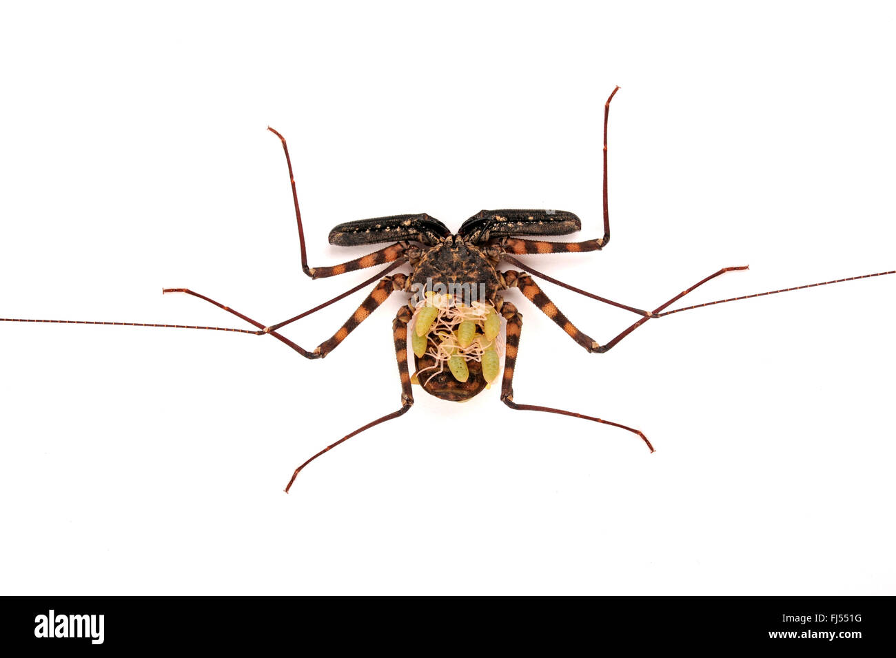 Whipscorpion, Tailless whipscorpion, Tailless whip scorpion (Damon diadema), with larvae on its back, cut-out Stock Photo