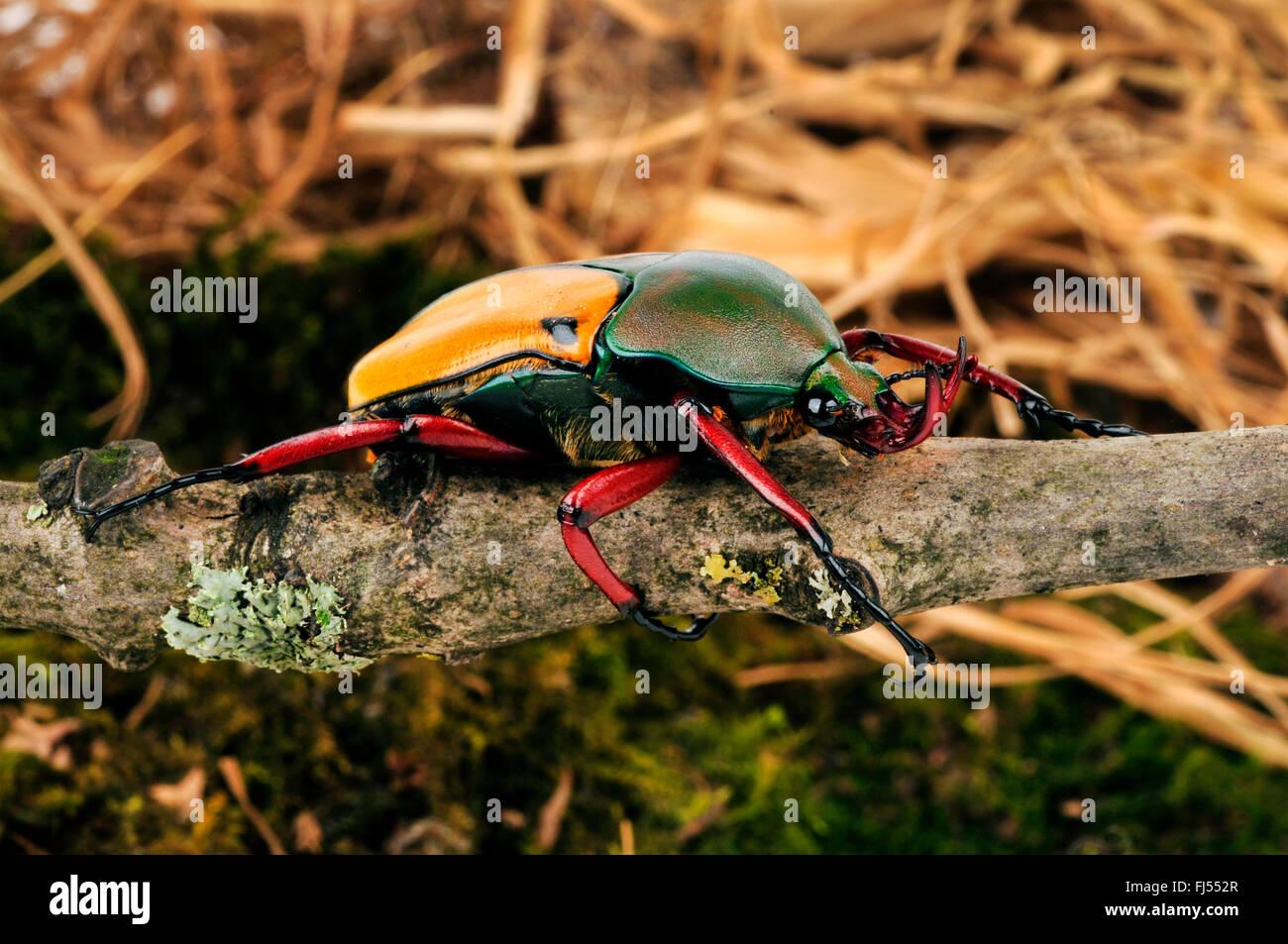 rose beetle; rose chafer (Eudicella tetraspilota), on a branch - Stock Image