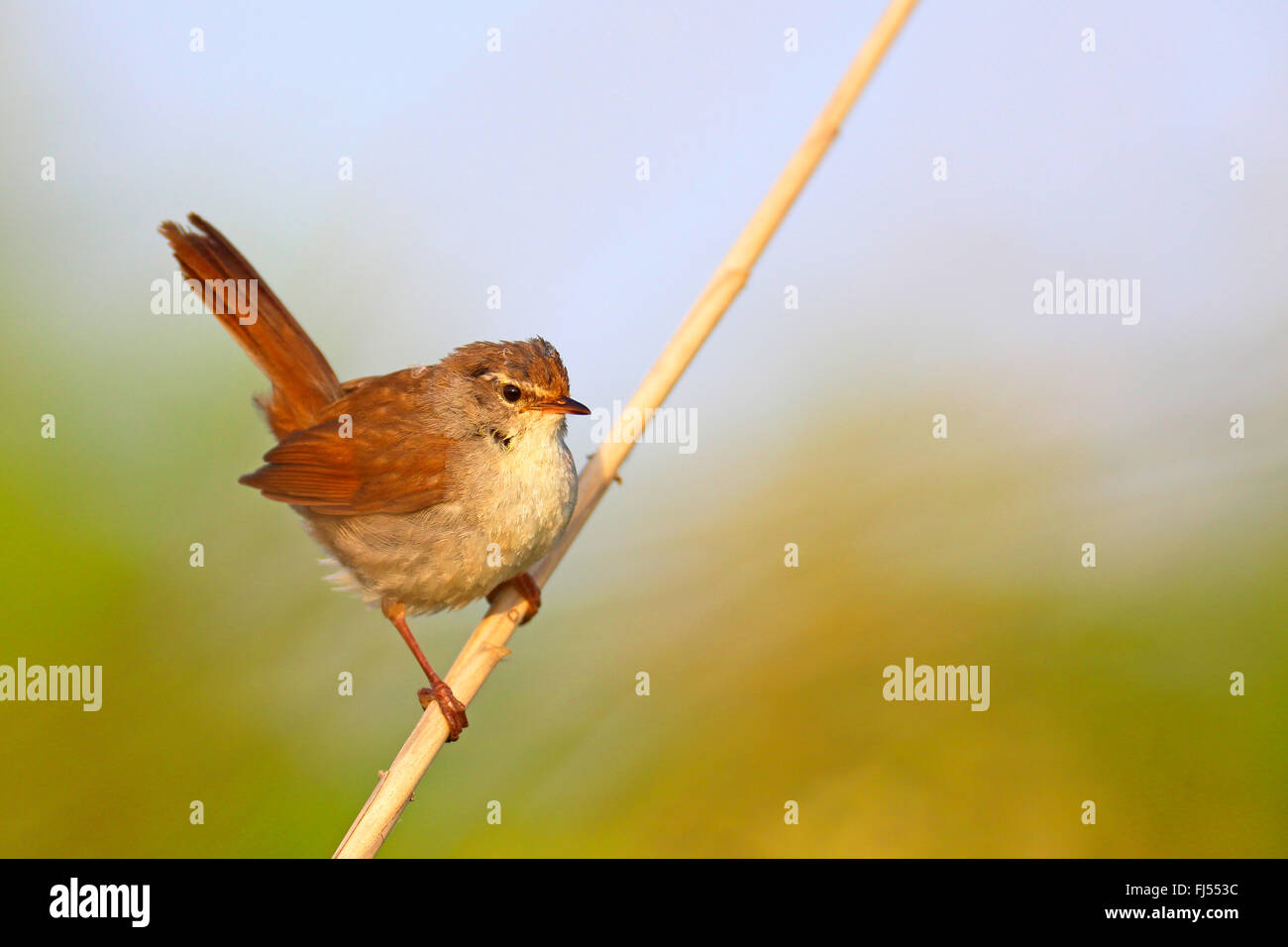 Cetti's warbler (Cettia cetti), sitting on a reed stem, Greece, Evrosdelta - Stock Image