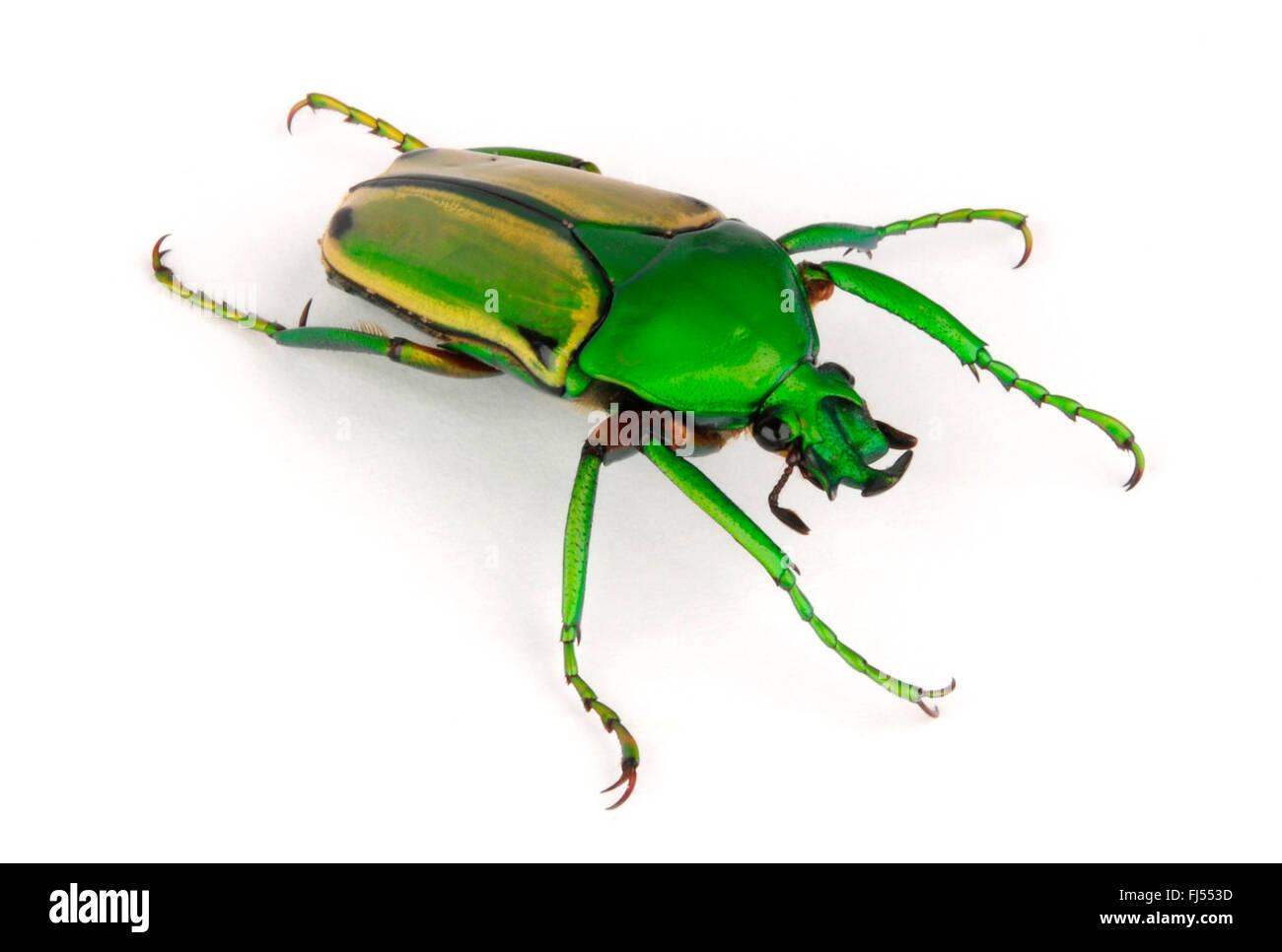 rose beetle; rose chafer (Eudicella aurata, Cyprolais aurata), cut-out, Cameroon - Stock Image