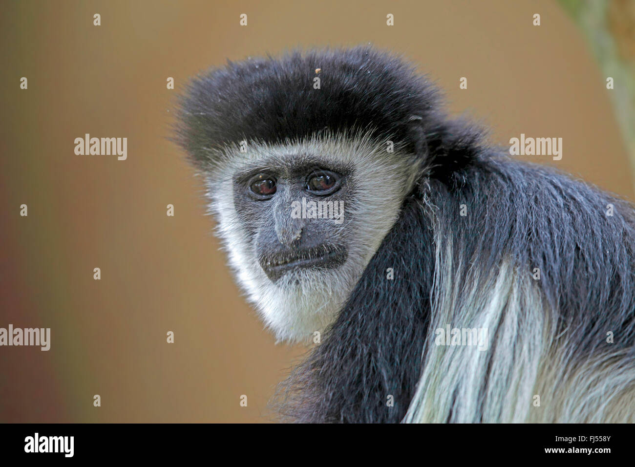 guereza, guereza colobus, eastern black-and-white colobus, mantled colobus, mantled guereza (Colobus guereza, Colobus - Stock Image